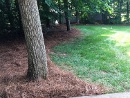 NC Long Leaf Pine Needles