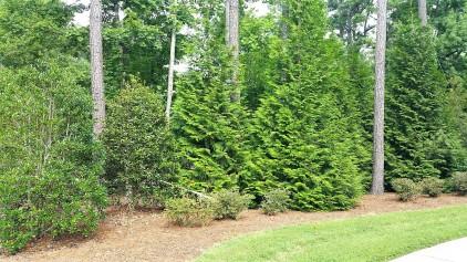 12-15' Green Giant Arborvitae 2018