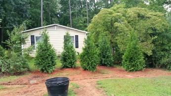 Green Giant Arborvitaes