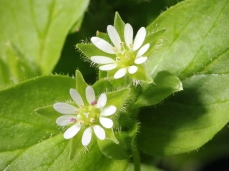 Chickweed by Kaldari - Own work, CC0, https://commons.wikimedia.org/w/index.php?curid=9861756